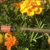 Dosette CBD zoom fleurs